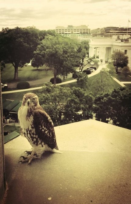 white house hawk