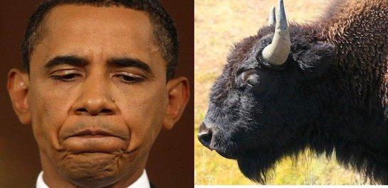 Obama bison